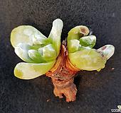 야생파키피덤|Dudleya pachyphytum