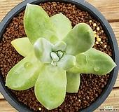 파키피덤 실생|Dudleya pachyphytum