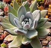 파키피덤실생|Dudleya pachyphytum