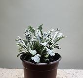 백묘국/야생화/10203215/공룡꽃식물원|