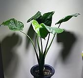 하트알로카시아/공기정화/608090199/공룡꽃식물원|Alocasia