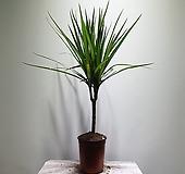 마지나타트리칼라/공기정화/5060109/공룡꽃식물원|