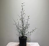 고로키아그린/고로키아/3550120219/공룡꽃식물원|