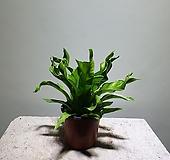 아스플레니움리더스/10201529/공룡꽃식물원|