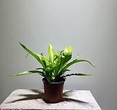 아스플레니움안티쿰/아비스/10201529/공룡꽃식물원|