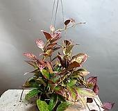 호야록타오썬라이즈/룩타오/606099/공룡꽃식물원|Hoya carnosa