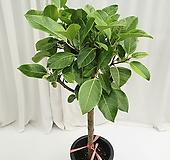 벵갈고무나무 공기정화식물|Ficus elastica