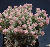 희성금1 (한몸묵은둥이) X032509|Crassula Rupestris variegata