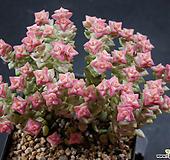 희성금2 (한몸묵은둥이) X032510|Crassula Rupestris variegata