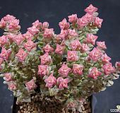 희성금3 (한몸묵은둥이) X032511|Crassula Rupestris variegata