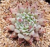 원종자라고사(묵은둥이)|Echeveria mexensis Zaragosa