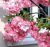 유럽풍 겹벚꽃나무 스탠다드 분달이 특품♥올해 꽃피는 왜성 외목수형♥겹벚나무 겹벚 겹벗 벚꽃 벗꽃 벚나무 벗나무|