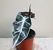거북알로카시아/공기정화/15203920/공룡꽃식물원|Alocasia