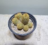 황금사선인장/선인장/10152512/공룡꽃식물원|