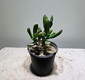 우주목다육이/다육이/10152512/공룡꽃식물원|Crassula obliqua Gollum
