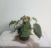 미칸/수입/상처/공기정화/10155935/공룡꽃식물원|