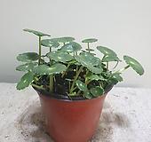 킹워터코인/반수생식물/10152812/공룡꽃식물원|
