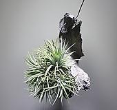 나무이오난사틸란드시아/이오난사/354519910/공룡꽃식물원|Tillandsia