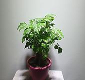 인삼녹보수/녹보수/공기정화/406013970/공룡꽃식물원|happy tree