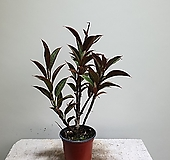 미니멜라니고무나무/고무나무/공기정화/25353920/공룡꽃식물원|Ficus elastica