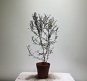 고로키아코트니스타/고로키아/355014980/공룡꽃식물원|