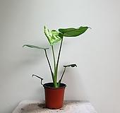 몬스테라델리시오사/소품/공기정화/35506535/공룡꽃식물원|