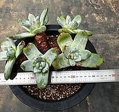 파키피텀, 파키피덤(뿌리없음)|Dudleya pachyphytum