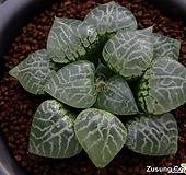 수정(水晶)컴프토 No.101 자구 (Haworthia comptoniana Shuisho No.101, offset)|