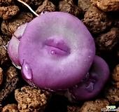 귀품종)파가에3두(1380b 뿌리무)|