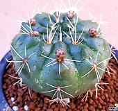비화옥선인장.튼튼실생입니다|Haworthia truncata