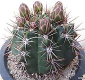 종귀옥선인장대품|Haworthia truncata