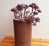 캉캉(묵은둥이한몸군생)화분별도|Echeveria can can