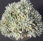 중대품.묵은자연군생 화이트그리니40두|Dudleya White gnoma(White greenii / White sprite)