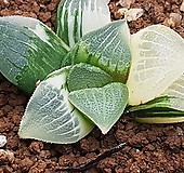 성영금|Echeveria elegans Potosina