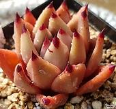 레드에보니51|Echeveria agavoides ebony red