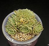 온슬로우철화(4.22)|Echeveria cv  Onslow