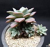 섭코림보사-4401 Echeveria subcorymbosa (lau 026)