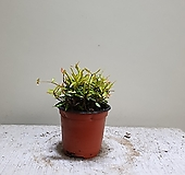 좀좀마삭 소품 공기정화식물 10203520 