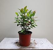 블루베리나무 과실수 소품 공기정화식물 15252915 