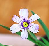 청하붓꽃 