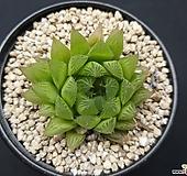 하월시아-4401 haworthia