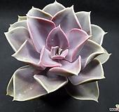 라일락-4401 Echeveria cv Peale von Nurnberg