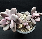 아메치스-4401|Graptopetalum amethystinum