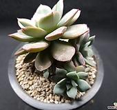 섭코림보사-4405 Echeveria subcorymbosa (lau 026)
