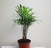 립스틱야자 수입식물 공기정화식물 30409950 