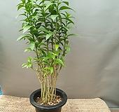 야래향(중품) 모기퇴치식물(꽃이피면 밤에만 향기가나는아이에요)|