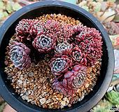 턱시판철화 한몸군생 묵은둥이|Echeveria tuxpan