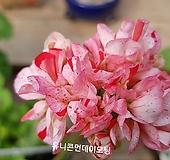 유니콘먼데이모닝(제라늄)|Geranium/Pelargonium