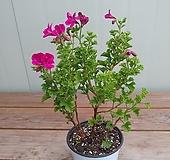 랜디제라늄 묵은둥이|Geranium/Pelargonium