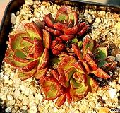 환엽롱기시마 23-36 Echeveria longissima